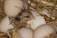 Hühnerküken, Küken schlüpft aus dem Ei, Schlupf, Eier, Hühnereier, Hühnerei