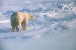 A polar bear walks through the drifting snow in Wapusk National Park, Manitoba, Canada.