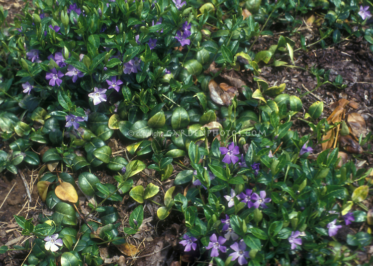 Vinca minor Bowles Variety aka La Grave groundcover in flower