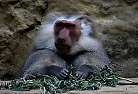 CALI - COLOMBIA - 27 - 09 – 2017: Papion Sagrado (Papio Hamadryas), especie de primate en el Zoologico de Cali, en el Departamento del Valle del Cauca.  / Sacred Papion (Papio Hamadryas), a primate species in the Cali Zoo, in the Department of Valle del Cauca. / Photo: VizzorImage / Luis Ramirez / Staff.