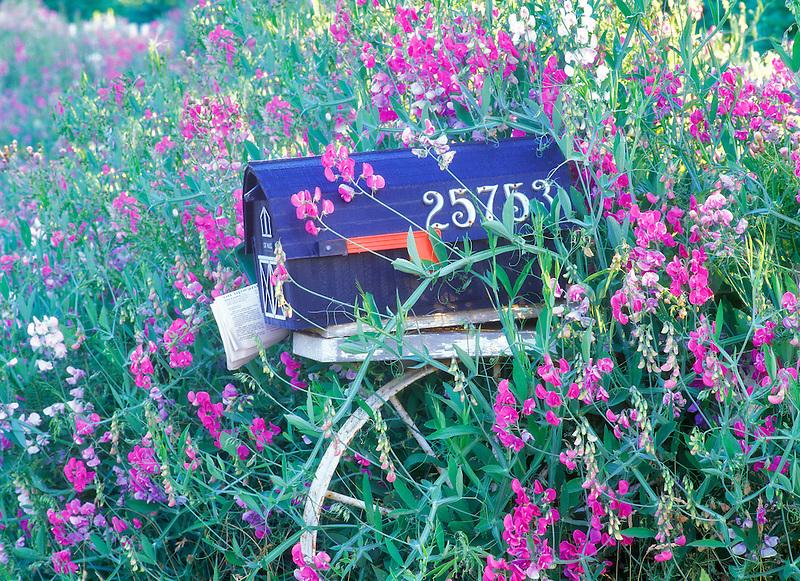 Rural mailbox and sweetpeas. Near Alpine, Oregon.