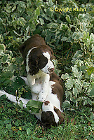 SH22-001z  Dog - English Springer puppies 11 weeks old