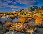 Rabbitbrush, Symmes Creek, Mount Williamson, Inyo National Forest, Eastern Sierra, Sierra Nevada Range, California