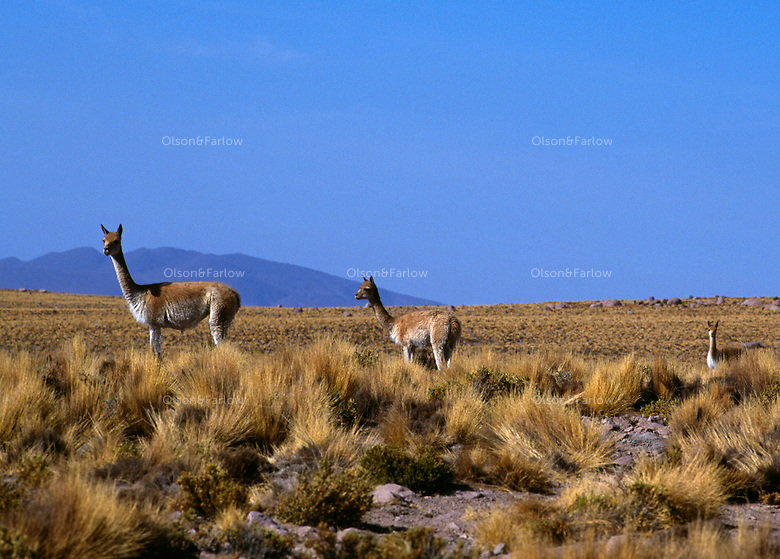Vicuna stand in the grasses in the Atacama Desert, known as .the driest place on earth where parts of the desert go for more than a century without recordable precipitation. The mammal is the ancestor of the alpaca thought to have been domesticated over 5000 years ago. <br /> Vicuna occupy a mystical place in the soul of Peru,  It is the country's national symbol, it's image graces the Peruvian coin. although once endangered, it has successfully comeback number 200,000.