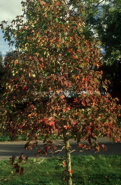 Liquidambar styraciflua  Sweetgum tree in fall foliage color in autumn