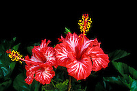 A stunning close-up of two red and white varigated hibiscus blossoms in a bed of green leaves