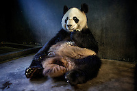 A captive bread panda eats specially made bread, that includes nutrients not provided in bamboo, in its enclosure at the Hetaoping Panda Conservation Centre.