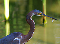 Tricolored heron in non-breeding plumage with minnow