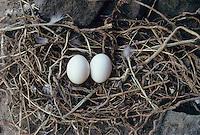 Felsentaube, Ei, Eier, Gelege im Nest, Felsen-Taube, Taube, Wildform, Stammform der Haustaube, Columba livia, feral rock dove