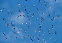 Wood Stork, Mycteria americana, flock in flight, Lake Corpus Christi, Texas, USA