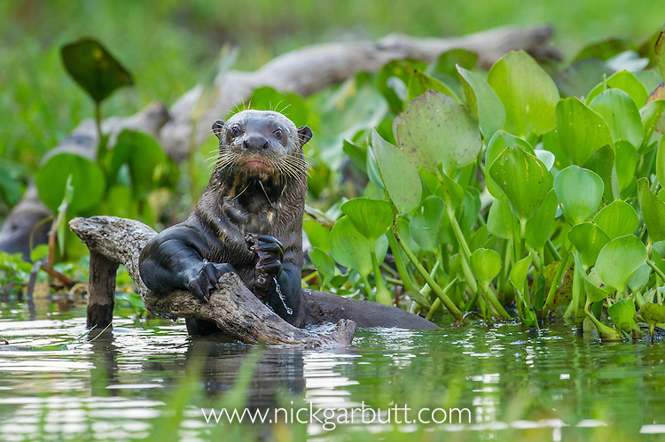 Giant Otter (Pteronura brasiliensis) in a lagoon off the Paraguay River. Taiama Ecological Reserve, western Pantanal, Brazil.