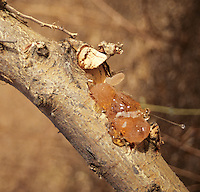 Gum Arabic on tree branch, waiting to be collected.