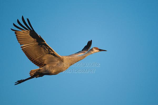 Sandhill Crane (Grus canadensis) adult in flight, Bosque del Apache National Wildlife Refuge , New Mexico, USA