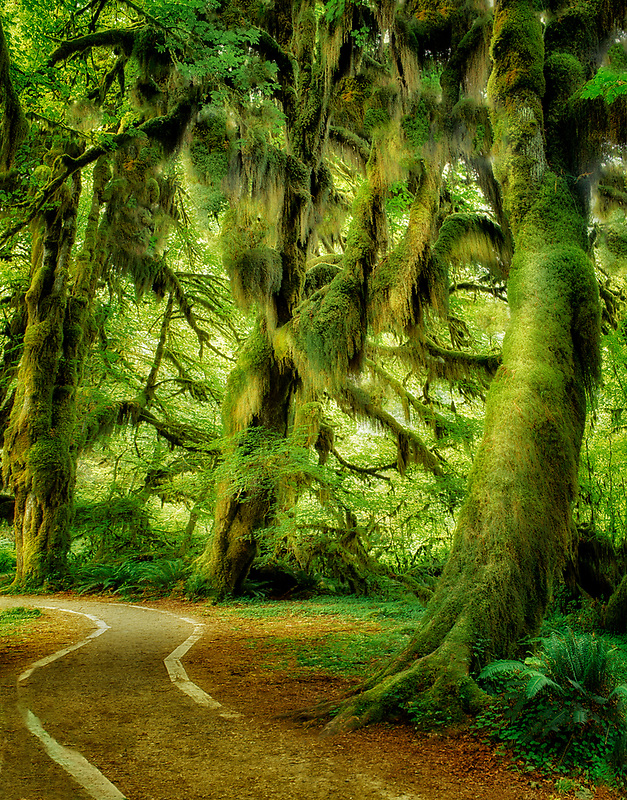 Moss covered maples. Hoh Rain Forest. Olympic National Park, Washington.