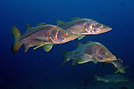 Centropomus undecimalis, Common snook, Florida Keys