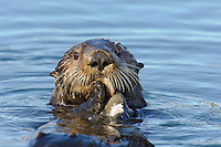 Sea Otter (Enhydra lutris) eating clam.