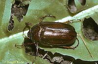 1C08-001z  June Beetle - Phyllophaga spp.