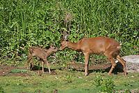 Europäisches Reh, Rehwild, Reh-Wild, Weibchen, Ricke mit Kitz, Jungtier, Tierbaby, Capreolus capreolus, roe deer