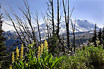 View from the Frozen Lake Trail, east side of Mount Rainier National Park.  The Sunrise area on the east side of Mt. Rainier lies significantly in rain shadow.  Numerous scenic hikes begin from the visitor center parking lot. Foreground features Golden Lupine, Asters, and Mountain Lupine (blue).