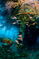 Coral growth inside the wreck of the Lesleen M freighter, blackbar soldierfish, Myripristis jacobus, sunk as an artificial reef in 1985 in Anse Cochon Bay, St. Lucia, Caribbean, Atlantic
