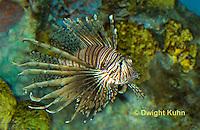 """TP03-508z  Red Volitan Lionfish """"Venomous Spines on Fish"""" - Pterois volitans"""