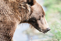 Side view of a brown bear at the McNeil River Falls,  in Alaska's McNeil River State Game Sanctuary.