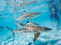 blacktip reef shark, Carcharhinus melanopterus, swimming near the tourists in the shallow waters of Moorea, French Polynesia, South Pacific Ocean