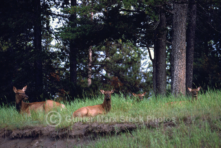 Banff National Park, Canadian Rockies, AB, Alberta, Canada - Elk Cow, Wapiti (Cervus canadensis) with Calves in Forested Meadow