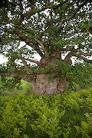 An ancient gnarled oak in the grounds of Kentchurch Court, possibly as old as Kentchurch itself which dates from the 14th century