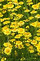 Anthemis sancti-johannis, mid July. Also known as St. John's chamomile or Orange marguerite.