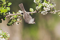 Black-crested Titmouse (Baeolophus atricristatus), adult on branch, Sinton, Corpus Christi, Coastal Bend, Texas, USA