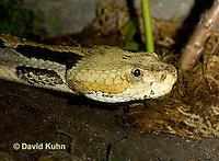 1211-1002  Timber Rattlesnake (Canebrake Rattlesnake), Crotalus horridus  © David Kuhn/Dwight Kuhn Photography