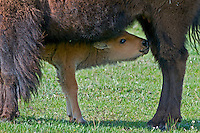 American Bison (Bison bison) cow nursing young calf.  Yellowstone National Park, spring.