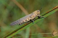 Ägyptische Wanderheuschrecke, Ägyptische Heuschrecke, Ägyptische Knarrschrecke, Anacridium aegyptium, Egyptian Locust, Egyptian grasshopper, Le Criquet égyptien