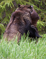 Male and Female Grizzly wrestling in a grassy clearing