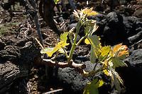 Weinrebe im Lavafeld, ei San Nicolas, La Palma, Kanarische Inseln, Spanien