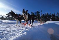 Musher John  Gourley dogs on Anchorage sled dog trail  Iditarod Sled Dog Race 1995