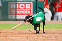 """""""Miss Lou-Lou Gehrig"""" performs her duties as bat dog during the South Atlantic League game between the Augusta GreenJackets and the Greensboro Grasshoppers at NewBridge Bank Park on August 11, 2013 in Greensboro, North Carolina.  The GreenJackets defeated the Grasshoppers 6-5 in game one of a double-header.  (Brian Westerholt/Four Seam Images)"""