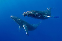 humpback whale, Megaptera novaeangliae, pair, Big Island, Hawaii, USA, Pacific Ocean