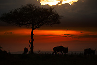 Wildebeests and Acacia tree silhouettes over a beautiful sunset in Masai Mara park, during the great migration between Kenya and Tanzania, in Africa