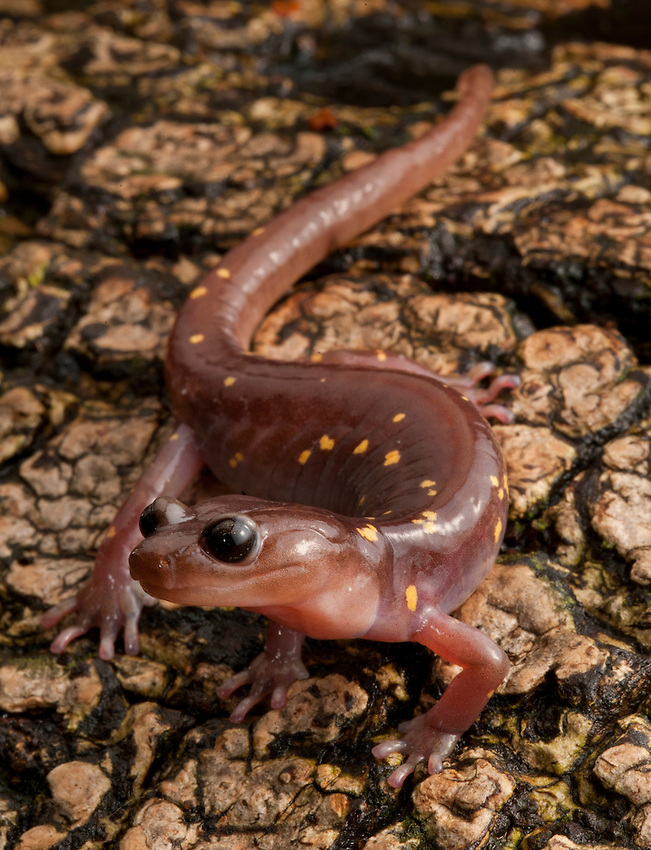 """Arboreal Salamander - Aneides lugubris - A really neat Salamander. These guys have sticky toe pads like a tree frog and a prehensile tail like an opossum which they use to climb trees. They also have big sharp teeth that can draw blood. I could not tempt this fellow to bite me but supposedly they can draw blood. Quite formidable for a """"snot lizard."""""""