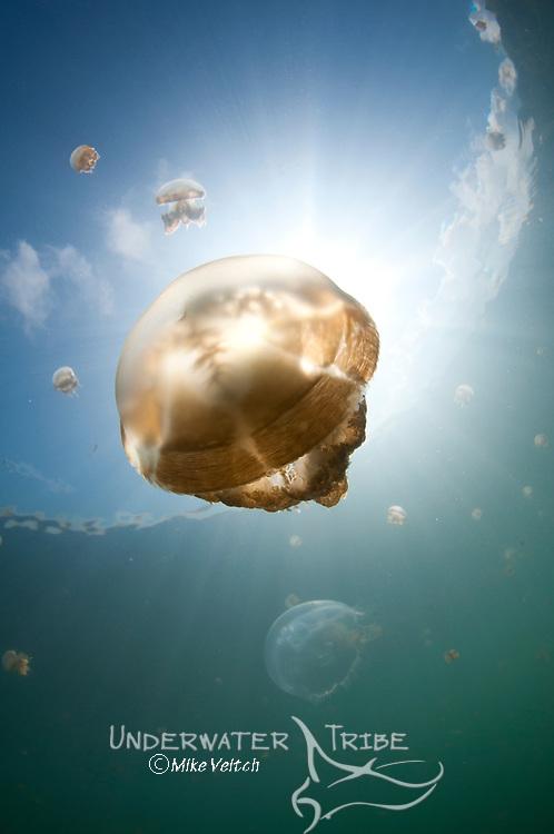 Sunrays illuminate a jellyfish, Mastigias sp., Jellyfish Lake, Kakaban Island, Berau, Kalimantan, Borneo, Indonesia, Pacific Ocean