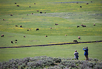 Park visitors photograph bison in the Lamar Valley.