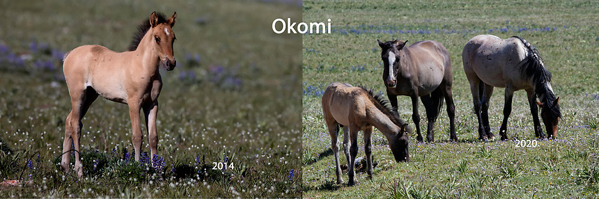 At only 6 years old, Okomi is doing quite well for himself! You see him here with the mare Feldspar and her colt Utah.  He also has in his band a mare called Quintana who also has a colt called Udall and a 2 year old colt named Sirius (Feldspar's also).