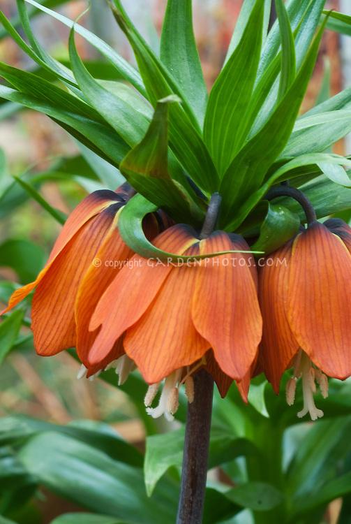 Crown imperal fritillary Fritillaria imperalis 'William Rex' in orange flowers in spring