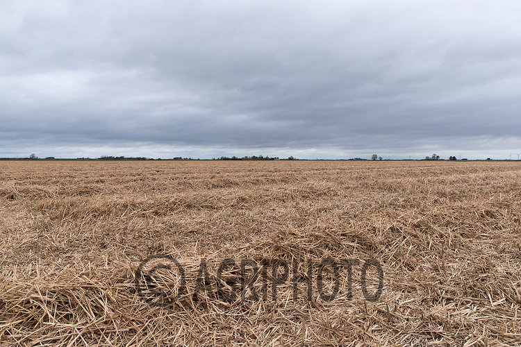 28-3--2021 Swathed Miscanthus  waiting to be baled in Lincolnshire<br /> ©Tim Scrivener Photographer 07850 303986<br />      ....Covering Agriculture In The UK....