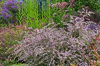 Symphyotrichum lateriflorum 'Lady in Black' Calico Aster (aka Aster lateriflorus Michaelmas Daisy) flowering in autumn mixed border at Denver Botanic Garden