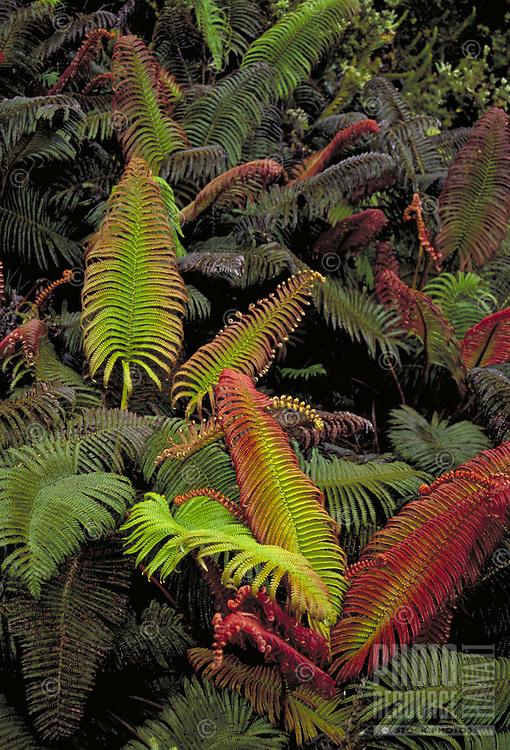 Amau ferns, native plant