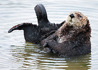 Sea otters, Enhydra lutris nereis, sometimes haul out onto the beach/water's edge where their behavior may be seen better. This older male sea otter has come to see what is happening.