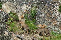 Wild Coyotes (Canis latrans)--mother with young pups--they are trying to get her to regurgitate food.  Western U.S., June.